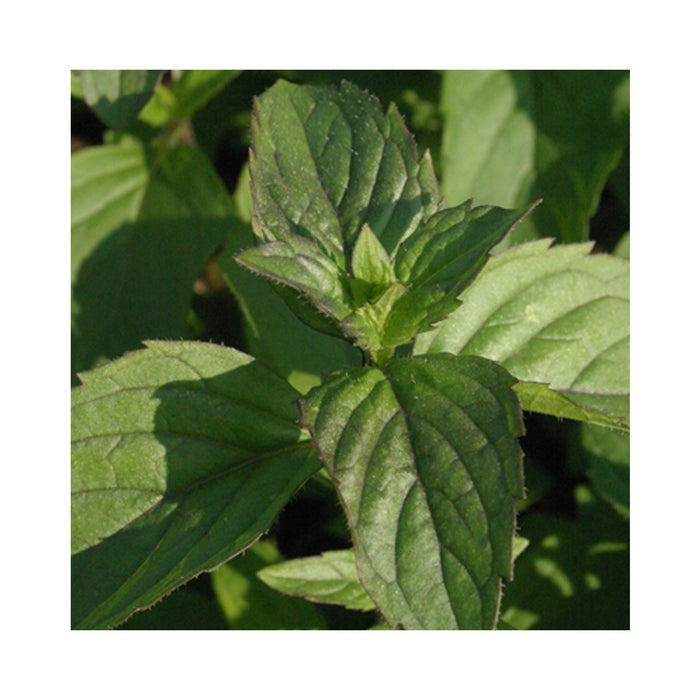 Red Mint Herb Plant
