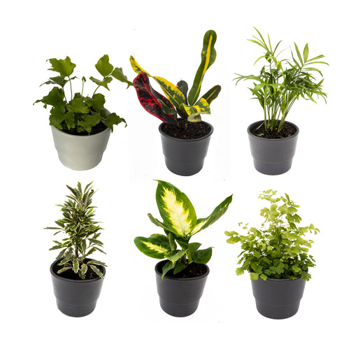 Houseplant Mix 6 Plants in 9cm pot