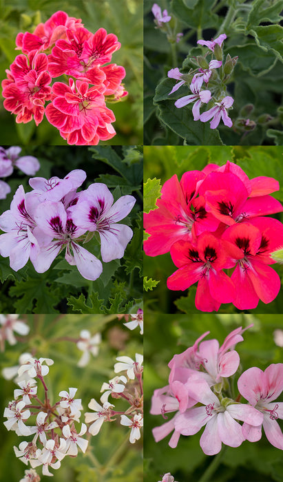 6 Mixed Scented Geranium Plants in 9cm pots - Stunning Flowers with Scented Foliage
