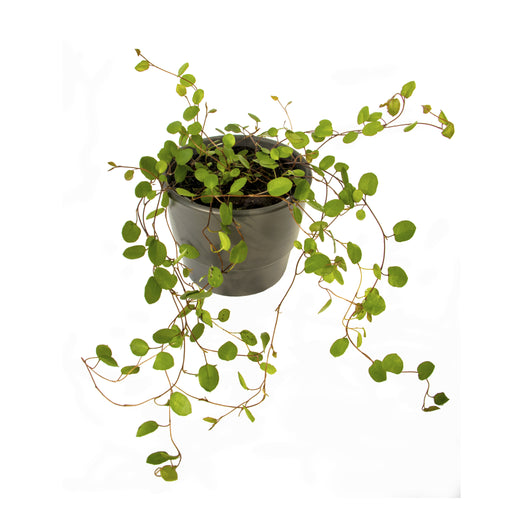 Muehlenbeckia complexa, The Necklace vine in 9cm pot