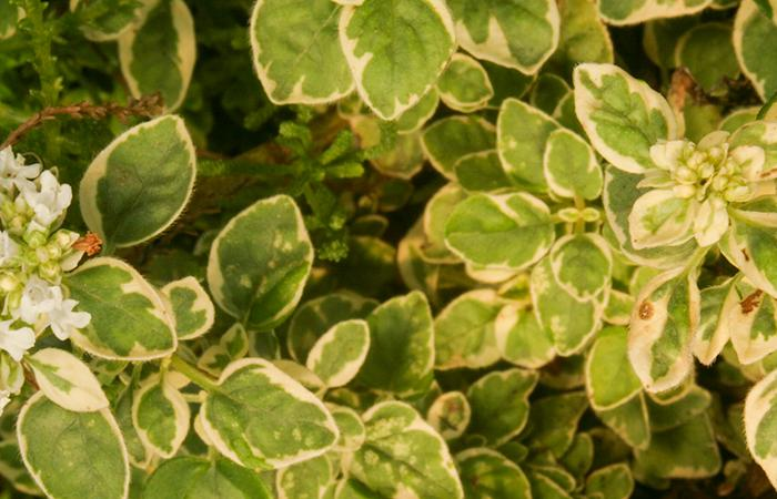 Oregano Country Cream Herb Plant