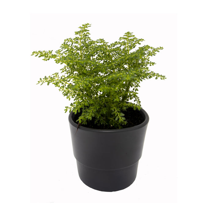 Fantastic Ferns Collection of houseplants in 9cm pot