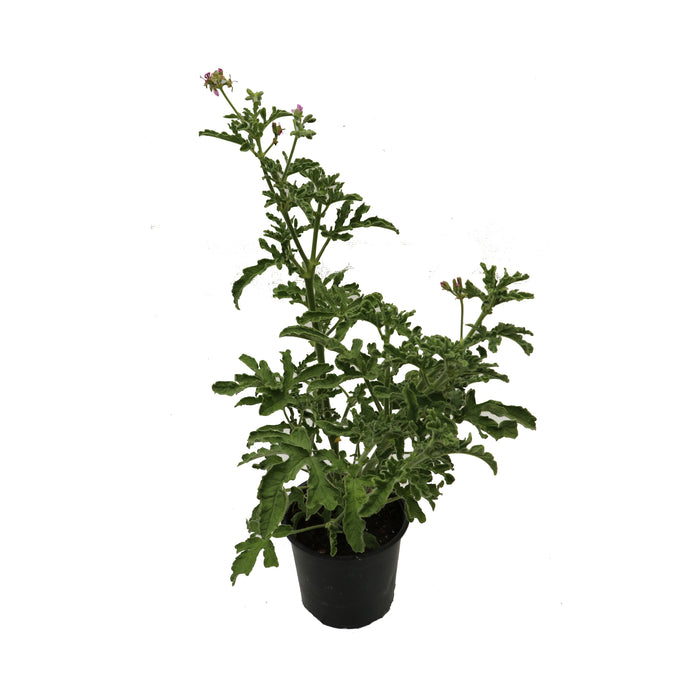 Roberts Lemon Rose 1 litre potted plant