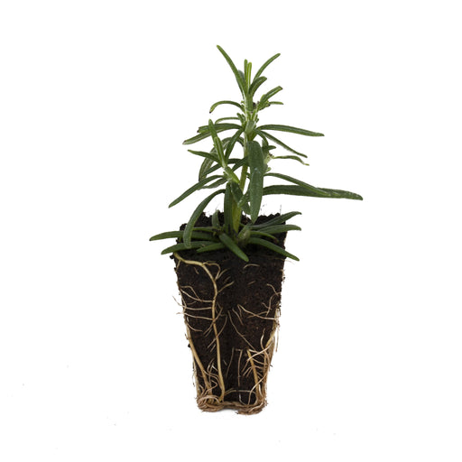 Prostrate Rosemary Herb Plant