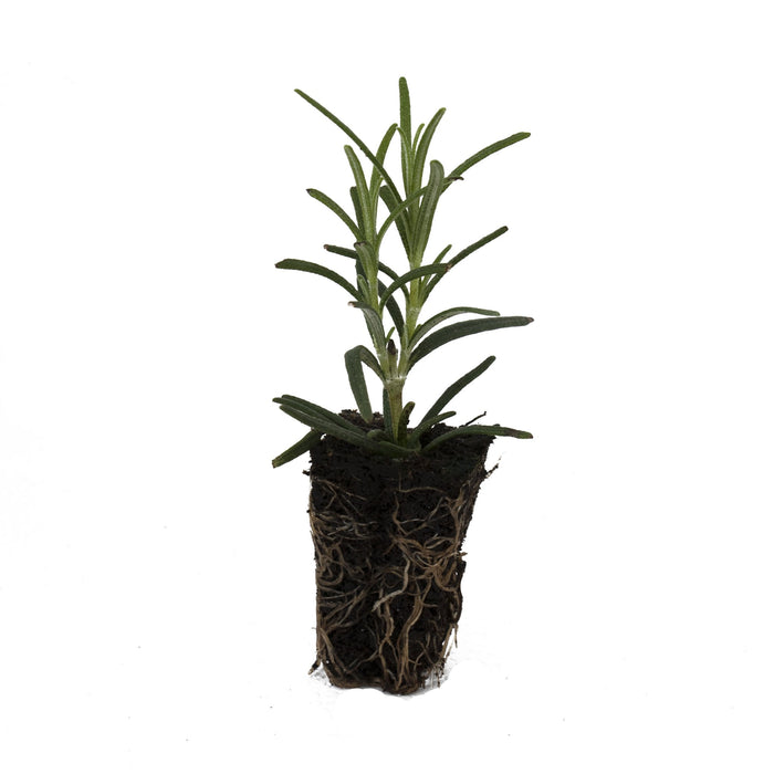 Rosemary Miss Jessops Upright Herb Plant