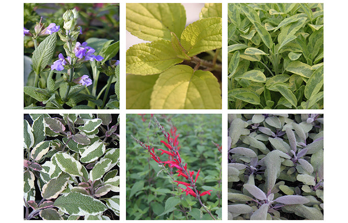 6 Sage Starter Plants Collection *3 different Sage varieties*