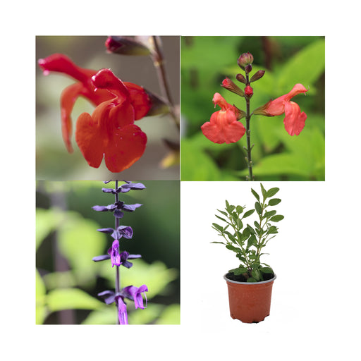 3 Salvia Perennial collection three stunning varieties in 9cm pots