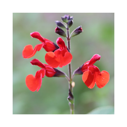 Salvia Arctic Blaze Red perennial in 9cm pot