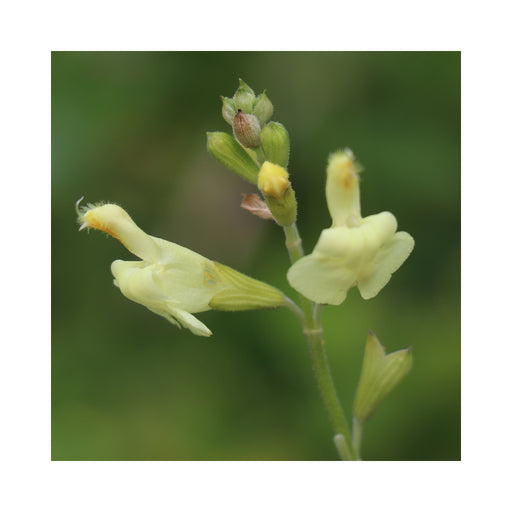 Salvia Mirage Cream perennial in 9cm pot