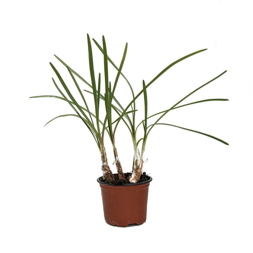 Society Garlic Herb sg Plant