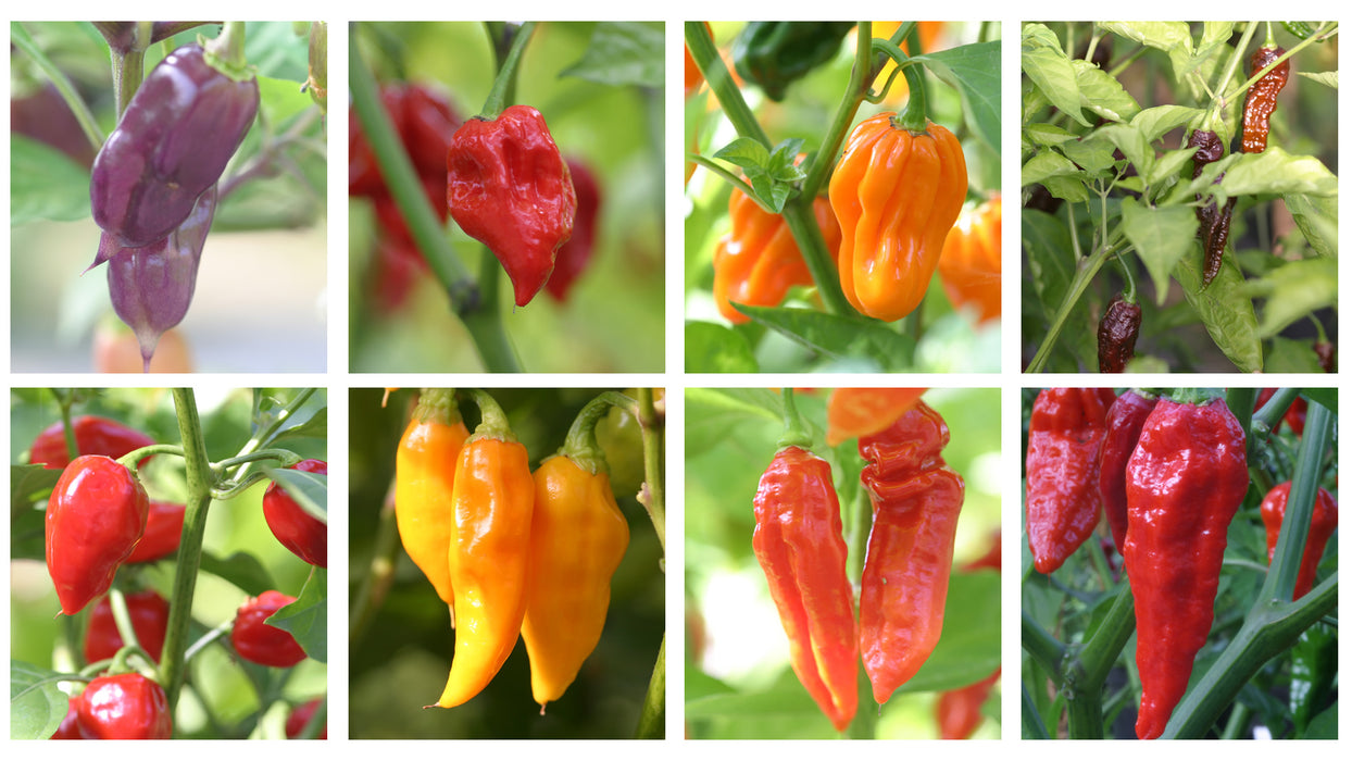 Selection of super hot chillies