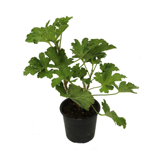 Sweet Mimosa 1 litre potted plant