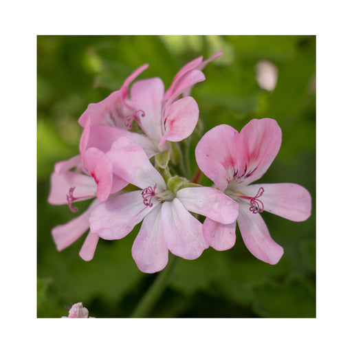 Scented Geranium Sweet Mimosa Herb Plant