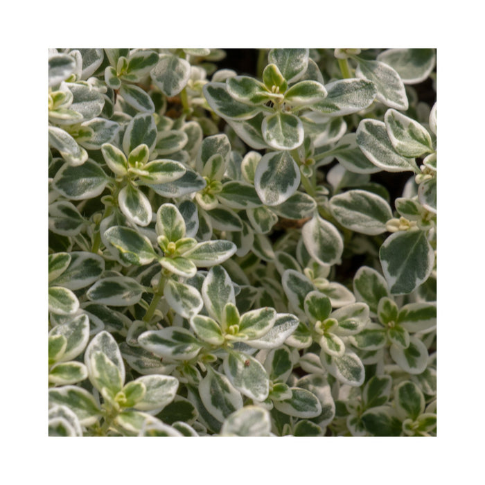 Sparkling Bright Thyme Herb Plant