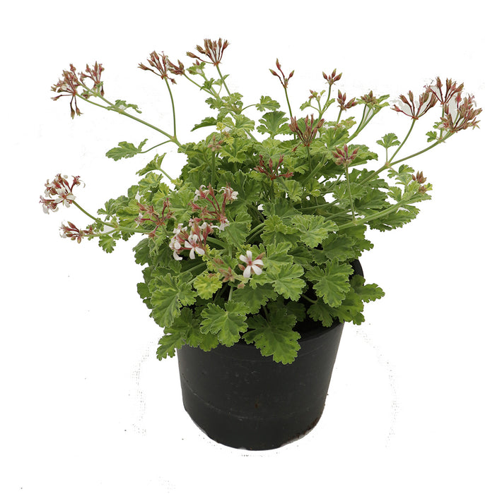Jumbo Scented Geranium mixed pack. Three Jumbo 1 litre plants