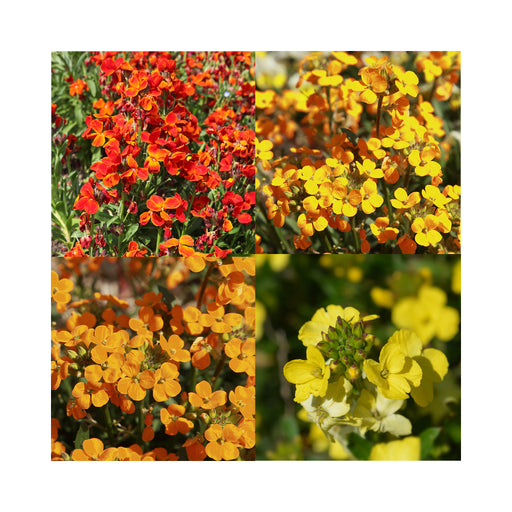 "Dug Special 12 x Hardy Wallflower starter plants ""bedder series"" Mixed colours"