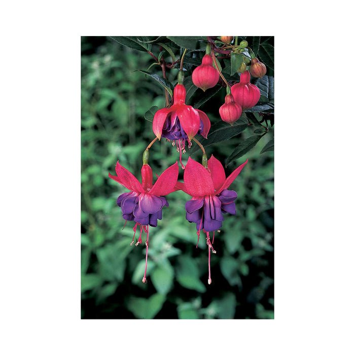 Bush Fuchsia Winston Churchill 3 Plants