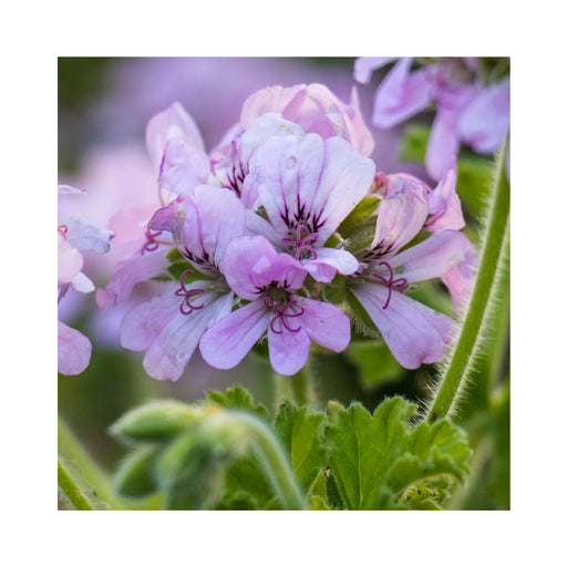 Scented Geranium Attar of Roses Herb Plant