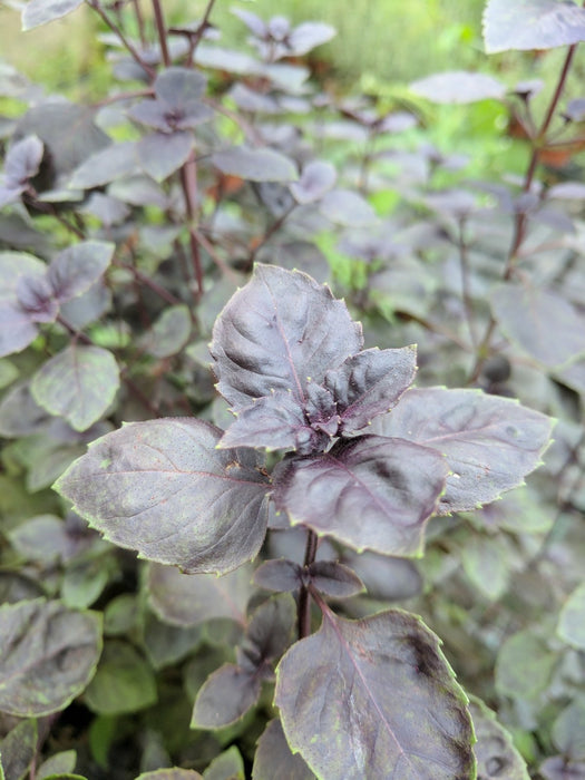 Basil Dark Lady Herb Plant