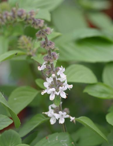 Basil Magic Mountain White Herb Plant