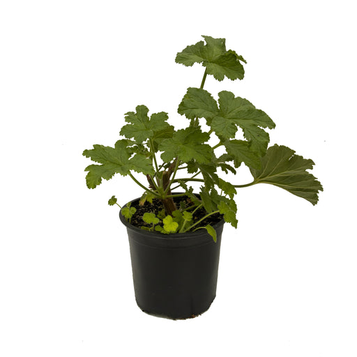 Clorinda scented geranium in 1 litre pot