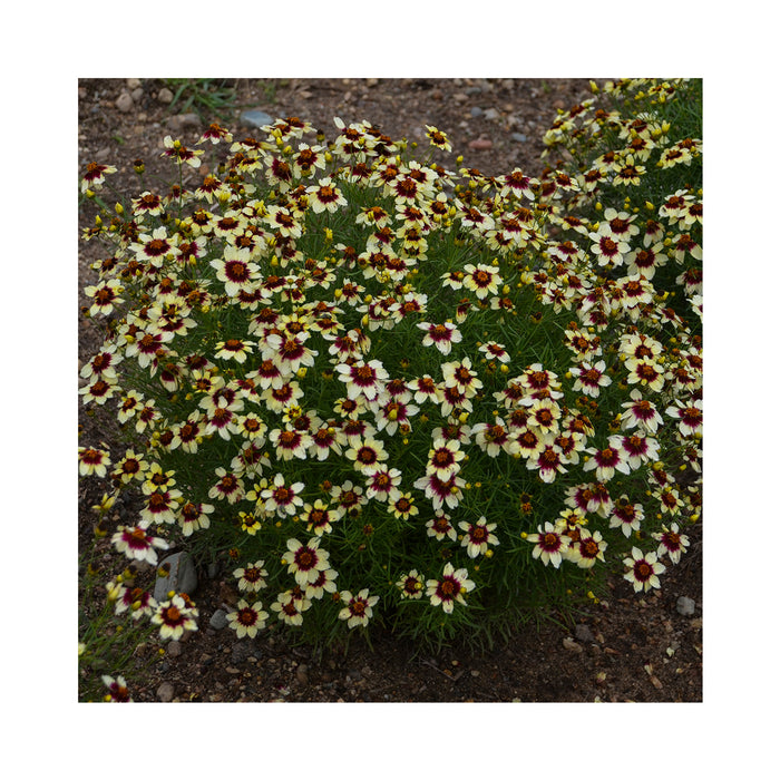 Coreopsis Red and hot Vanilla perennial in 9cm pot