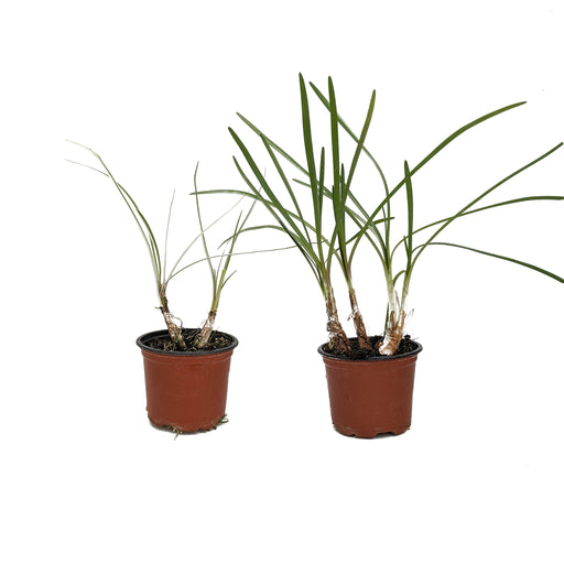 "Double Pack Society Garlic ""Green"" and ""Silver Lace"" 2 x 9cm potted plants"