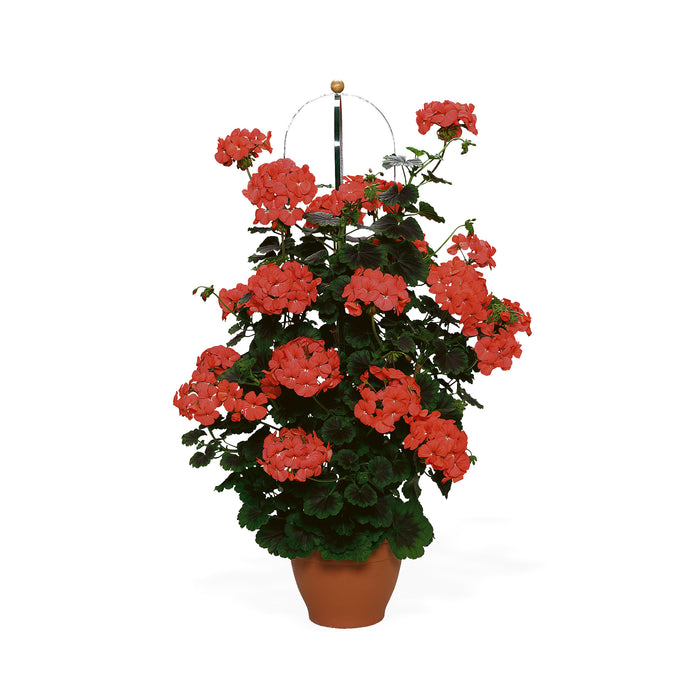 Climbing Geranium Antik Orange 3 Plants