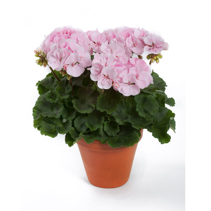 Upright Geranium Alma 3 Plants