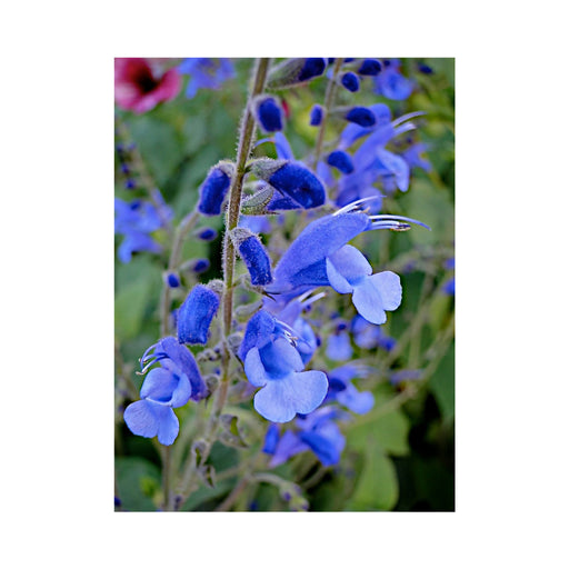 Salvia Blue Butterflies