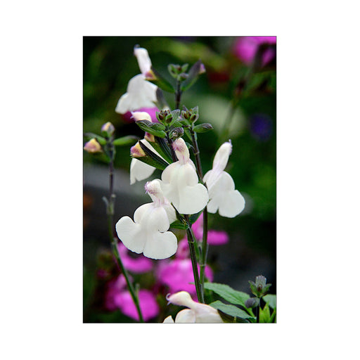 Salvia Cool Cream