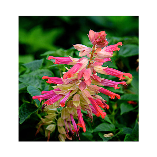 Salvia Flamingo