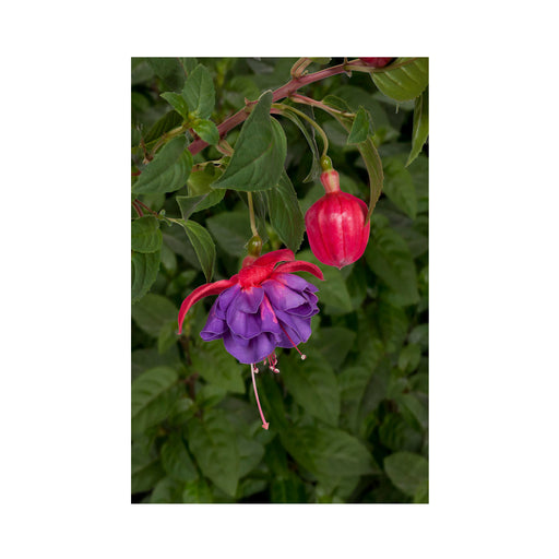 Bush Fuchsia Gillian Anthea