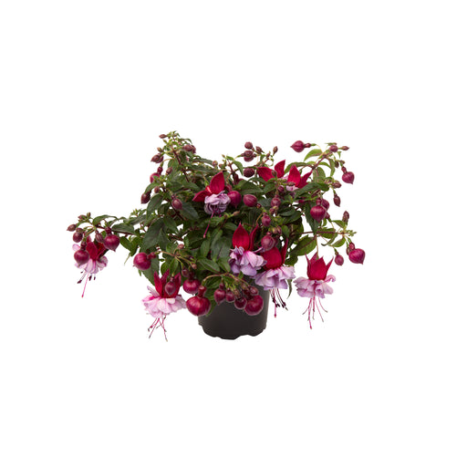 Bush Fuchsia Bella Julia