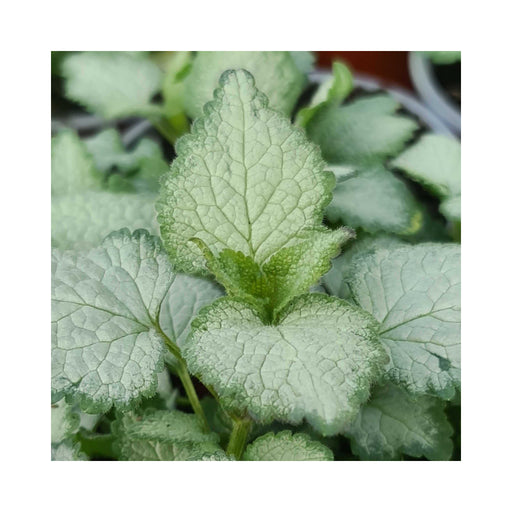 Lamium White Nancy perennial in 9cm pot