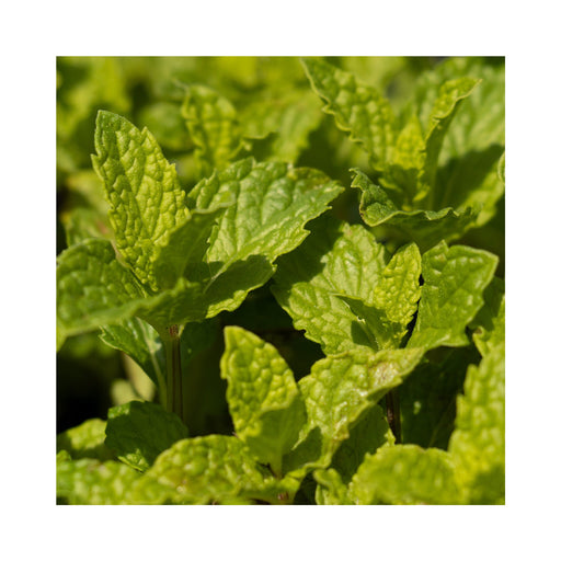 Kentucky Colonel Mint Herb Plant