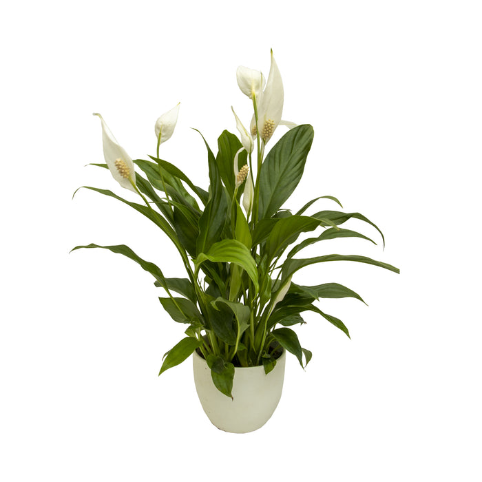 Peace Lilly in 12cm pot