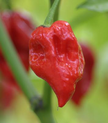 Chilli Trinidad Scorpion Plant