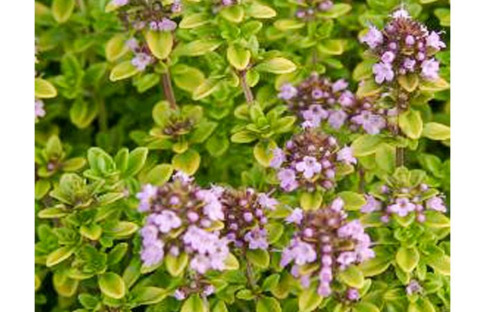 Archers Gold Thyme Herb Plant