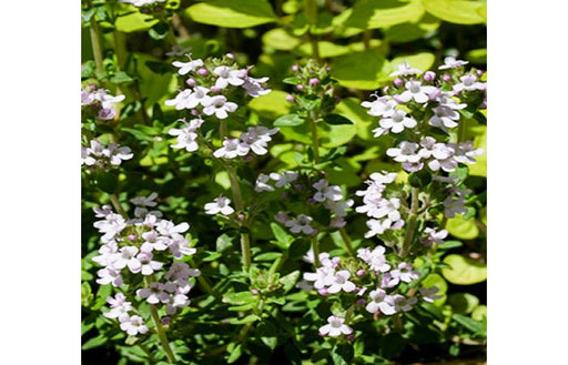 Common Compact Thyme Herb Plant