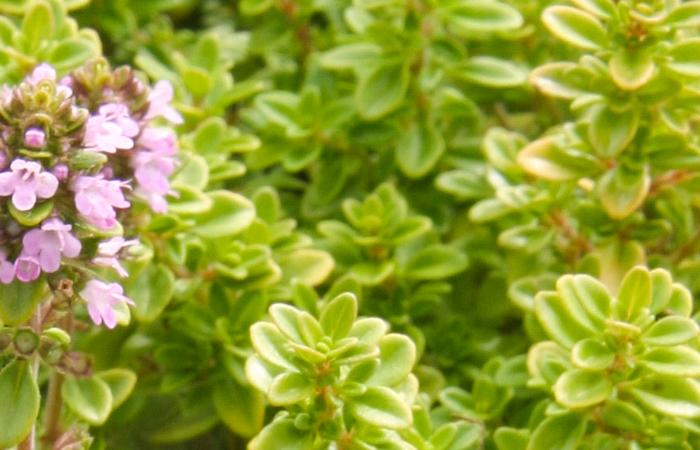 Thyme Common Golden Herb Plant