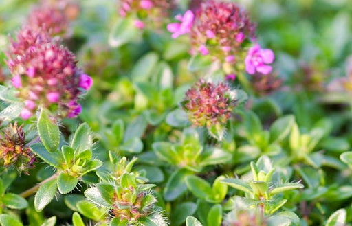 Creeping Red Thyme Herb Plant