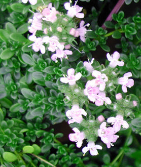 Thyme Pink Chintz herb starter plant