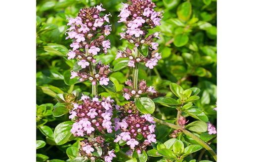 Thyme Tabor Herb Plant
