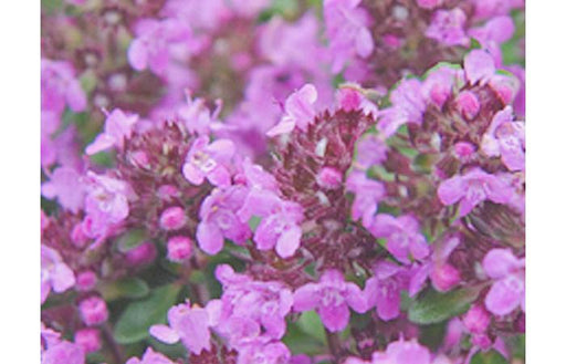 Thymus Wine and Roses Herb Plant