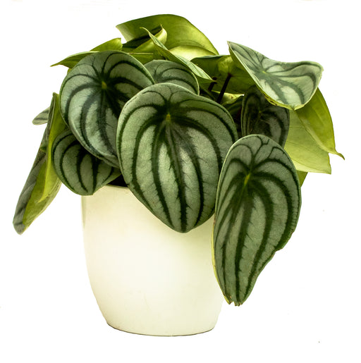 Watermelon peperomia in 12cm pot