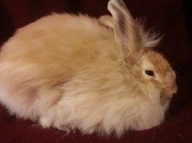 Angora Rabbit Sale Table