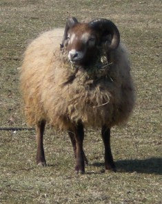 Sheep Show Animal Entry