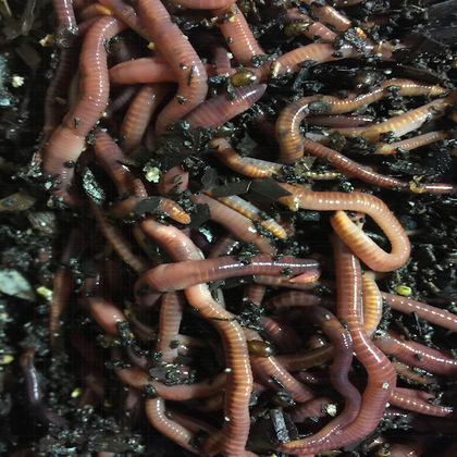 Louisiana Swamp Worms