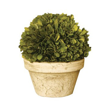 Small Preserved Boxwood Topiary